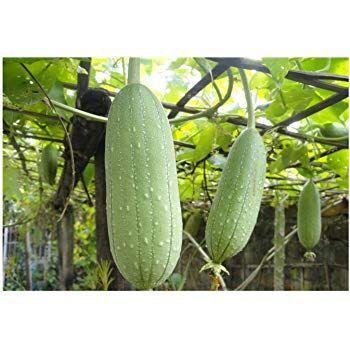 PLAT FIRM onge Gourd LUFFA loofa CYLINDRICA 10 seed