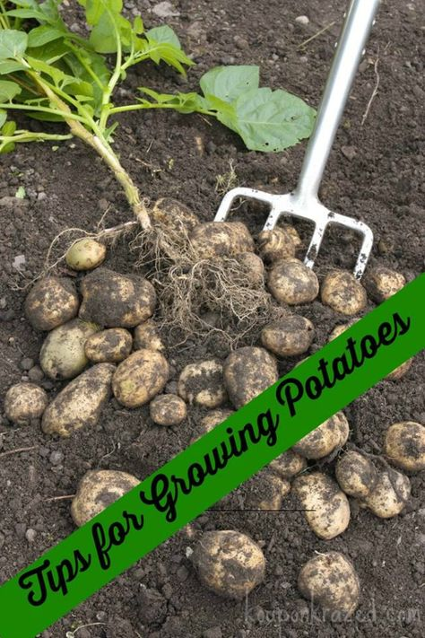 Tips for Growing Potatoes #growingpotatoes http://kouponkrazed.com/2014/04/tips-growing-potatoes/