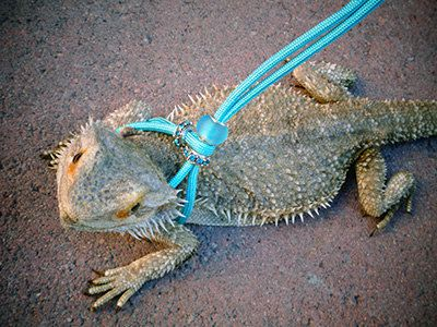 Image result for diy bearded dragon harness | Bearded Dragons ...
