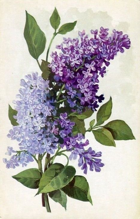Puffy Lilac Botanical Drawing In 2020 Lilac Painting Flower Art Watercolor Flowers