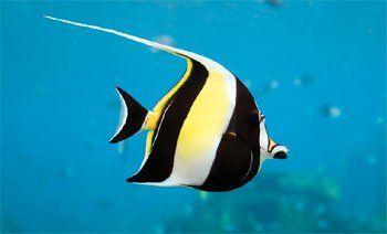 Image Result For Moorish Idol Vs Angelfish Beautiful Fish