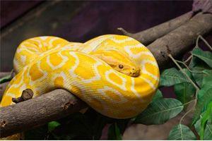 Sonhar Com Cobra Amarela O Que Quer Dizer Sonhar Com Cobras
