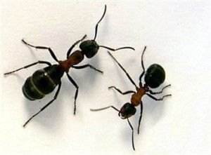 How To Get Rid Of Tiny Black Ants In The House Get Rid Of Ants Black Ants Rid Of Ants