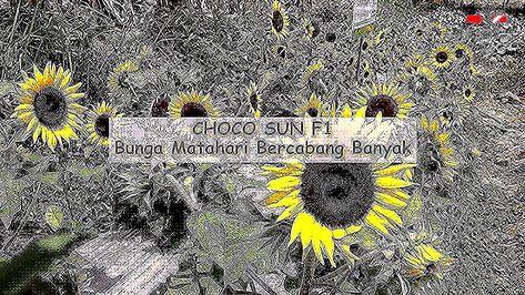 Foto Bunga Banyak Choco Sun F1 Bunga Matahari Bercabang Banyak Bunga Banyak Indah Foto Gratis Di Pixabay Gambar Bunga Aster Yang Banyak Ide Buat In 2020 Day Lilies
