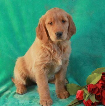 Golden Retriever Puppy For Sale In Gap Pa Adn 62313 On