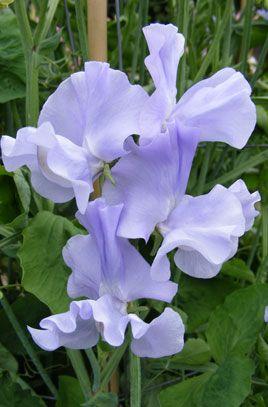 Sweet Pea /'Blue Ripple/' 40 Seeds Annual climber