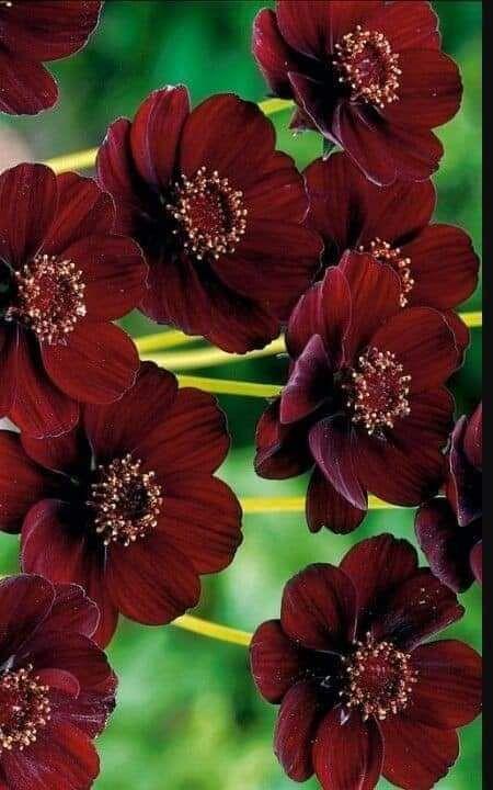 Pin By منتديات شباب الرافدين تجمع شبا On قسم البناتات والطبيعة Chocolate Cosmos Rare Flowers Cosmos Plant