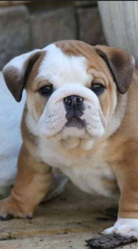 Some Of The Things I Respect About The Bulldog Dog Dogs Puppy
