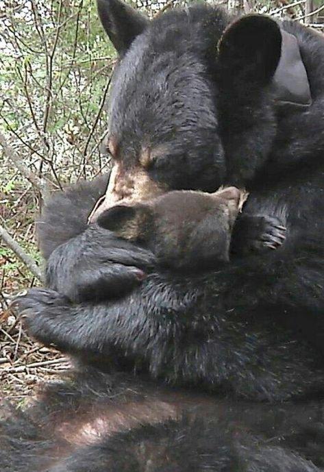Beautiful Black Bear and Cub Share a Tender Cuddle!