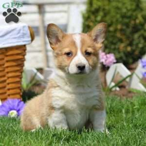 New Arrivals See New Puppies Greenfield Puppies Corgi Mix Puppies Greenfield Puppies Welsh Corgi Mix