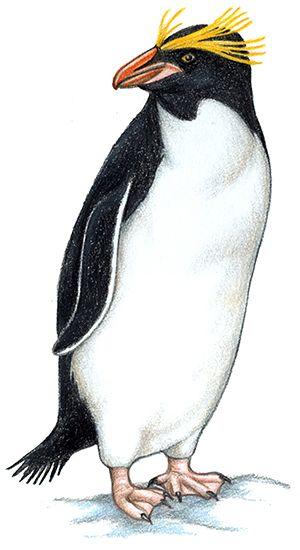 All About Penguins Appendix Seaworld Parks Entertainment In 2021 Penguins Macaroni Penguin All About Penguins