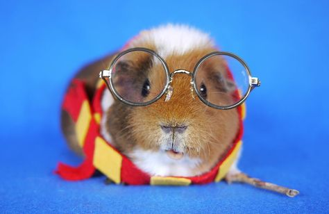 Guinea pig dresses up in the cutest costumes (PHOTOS): Fuzzberta
