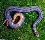 Red-bellied snake - photo credit John White