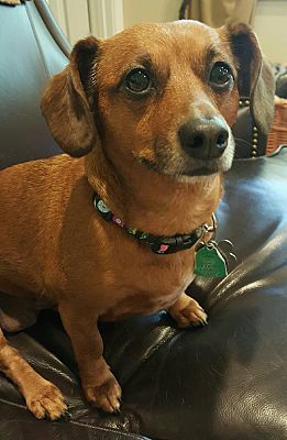 Marietta Ga Dachshund Meet Kiki A Pet For Adoption Pets