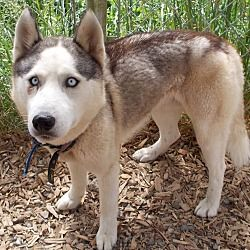 Pin By Rubilee Dykes On Adoptable Pets Husky Husky Mix