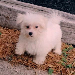 Teacup Maltese For Sale Usa Canada Australia Uk 50 Sunshine Teacup Maltese Available Puppies Sunshine Mal In 2020 Teacup Puppies Maltese Teacup Puppies Maltese Puppy