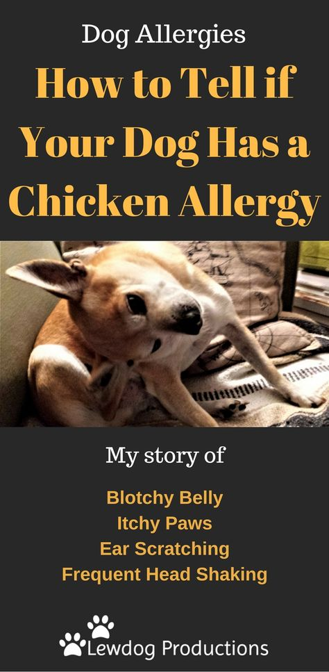 How To Tell If Your Dog Has A Chicken Allergy Chicken Allergy