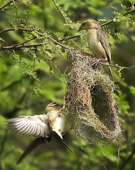 46 idées de Nids d'oiseaux | oiseaux, nid oiseau, nichoir