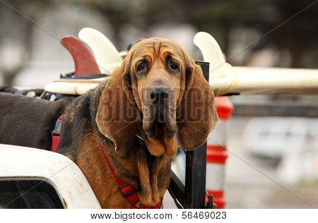 Red Dog In Car Poster Low Maintenance Dog Breeds Dog Breeds Dogs