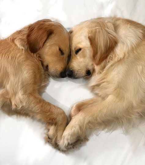 Any dogs and puppies that are cute. See more ideas about Cute Dogs, Cute puppies Tags: Cute Dogs And Puppies, Baby Puppies, Baby Dogs, I Love Dogs, Doggies, Dogs Golden Retriever, Funny Golden Retrievers, Cute Little Animals, Dog Pictures