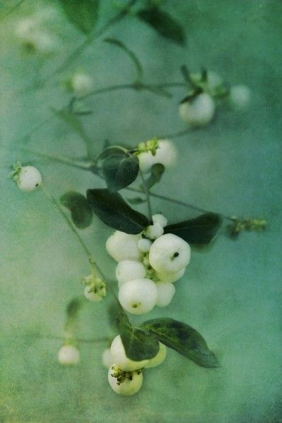 "There was a hedgerow of this in my neighborhood growing up (in front of the house of a boy I had a crush on in kindergarten). I loved stepping on these white berries to hear them ""pop!"""