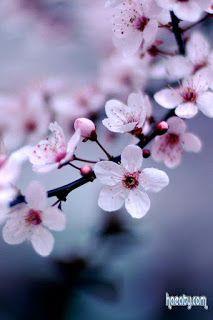 خلفيات ايفون ورد طبيعي Iphone Wallpapers Hd Download Iphone Wallpaper Blossom Garden Types