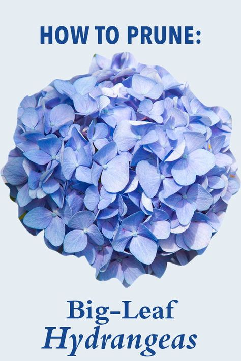 Pruning Big Leaf Hydrangeas In The Spring Would Remove The Flower Buds Leaving Us With A Bloomless Plant For The Year Instead Big Leaf Hydrang Con Imagenes Plantas Flores