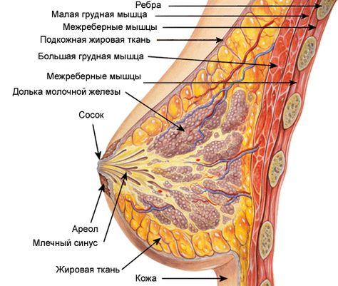 zhenskaya-grud-iznutri-kak-zasunut-paltsi-v-chlen