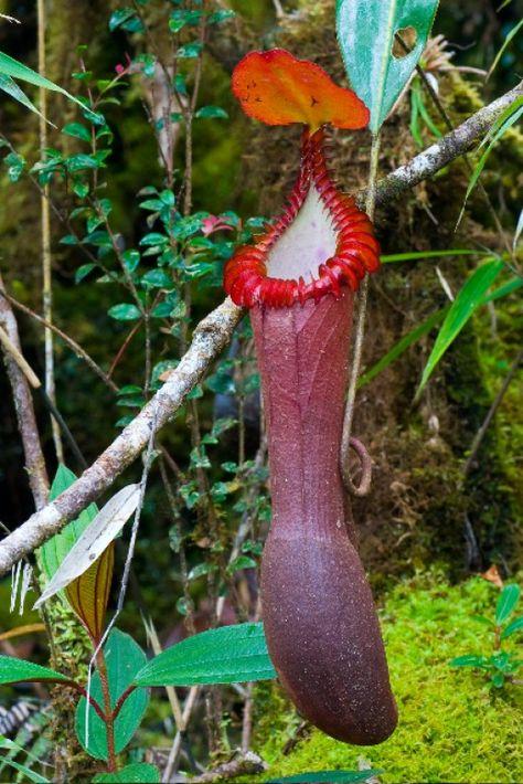 Cephalotus Follicularis Rarity Carnivorous Plant 9cm Pot Mocassin Plant