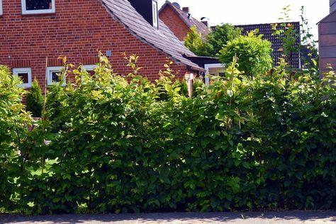 Hainbuche Weißbuche - Carpinus betulus - Hainbuchenhecke günstig aus der Baumschule online kaufen