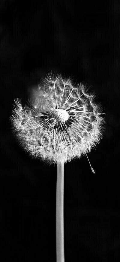 Pin By Huseyin Esenman On Resio Dandelion Wallpaper Dandelion Black And White Photography