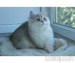 British Shorthair Kitten California British Longhair Kitten California British Shorthair Kitten British Shorthair British Shorthair Kittens Kitten For Sale