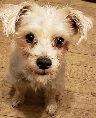 Detroit Mi Yorkie Yorkshire Terrier Meet Marley A Dog For Adoption Yorkshire Terrier Yorkie Yorkshire Terrier Yorkie