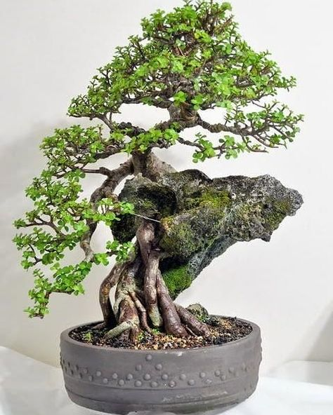 Eves Extra Large Japanese Juniper Bonsai Tree Outdoor Bonsai 12 Years Old Planted In 12 Inch Ceramic Container Cannot Ship To Ca California Plants Seeds Bulbs Patio Lawn Garden