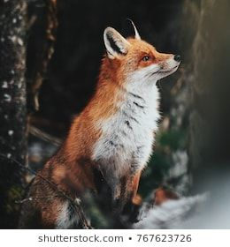 Beautiful red fox portrait in the wild forest