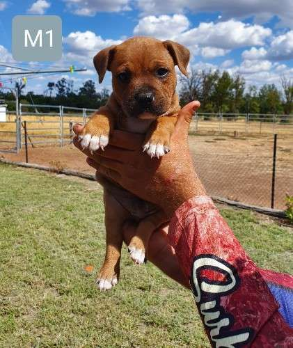 Pin On Puppies For Sale In Australia