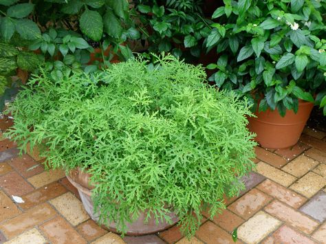 growing mosquito plant (citronella) in a pot - with instructions how to propagate for winter/next year.