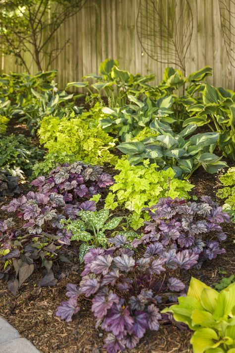 Pack x6 Heuchera Heucherella /'Sweet Tea/' Perennial Large Garden Plug Plants