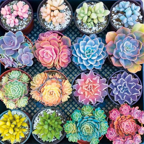Since Buffalo Games has produced extraordinary jigsaw puzzles and party games right here in the USA. Shop for jigsaw puzzles and games online! Colorful Succulents, Planting Succulents, Large Succulent Plants, Colorful Plants, Cactus Plants, Jigsaw Puzzles For Kids, Plantas Bonsai, Buffalo Games, Cactus Y Suculentas