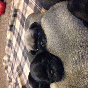 Purebred Pug Puppies Including 2 Rare Grey Dogs Puppies For