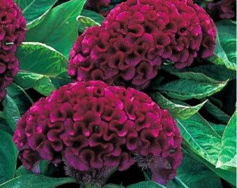 Purple Flamingo Celosia Flower Seeds Spicata Annual 50 Etsy Celosia Flower Flower Seeds Celosia Plant