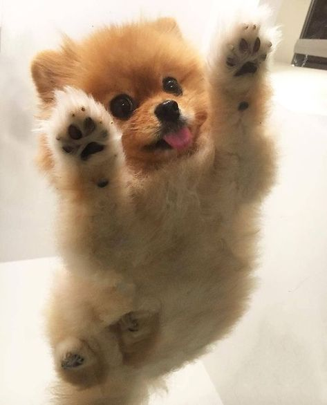 Everything About Inquisitive Pomeranian Puppies Exercise Needs Teacup Pomeranian Puppy, Teacup Puppies, Pomeranian Haircut, Bulldog Puppies, Cute Dogs Breeds, Cute Dogs And Puppies, Puppy Breeds, Doggies, Bear Dog Breed