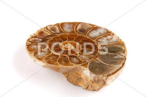 Old Pleistocene Seashell Divided For Examination Purpose Stock Image #12349426