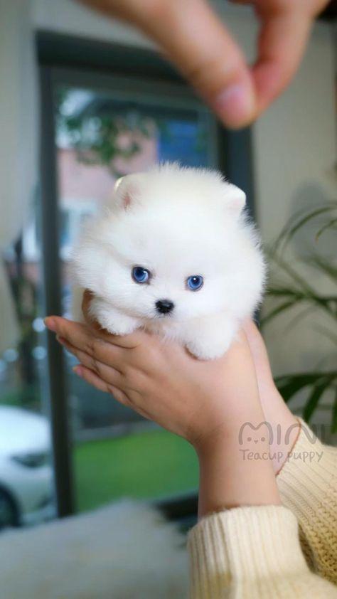 Unique blue eyed white pomeranian │ Miniteacuppuppy