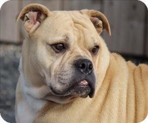 Quakertown Pa English Bulldog Mix Meet Cinnabon A Dog For