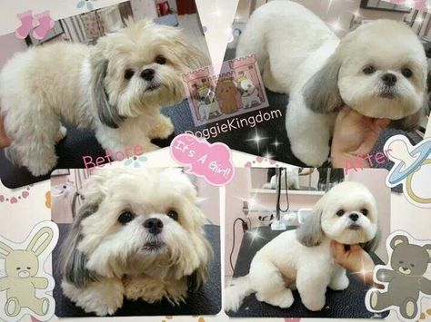 Teddy Bear Dogs Hair Styles Google Search Teddy Bear Dog Shih Tzu Grooming Shih Tzu Puppy