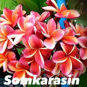 Growing Plumeria Frangipani Indoors In Containers Part2 5 In 2020 Frangipani Plumeria Real Flowers