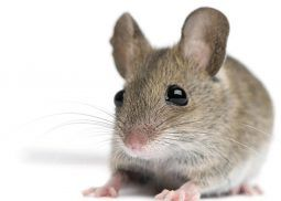 Mice Control Essex Mice Control Animals Getting Rid Of Mice