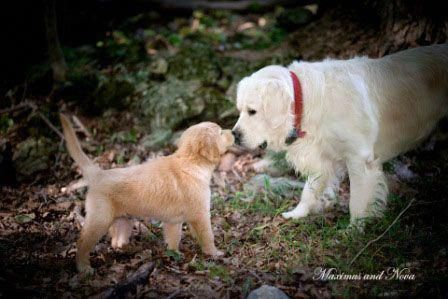 See Our Site For Even More Info On Golden Retriever Puppies It
