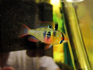Yunite Sdrams Your No 1 Source Of Quality German Blue Rams Tropical Fish Aquarium Fish Pet Aquarium Fish